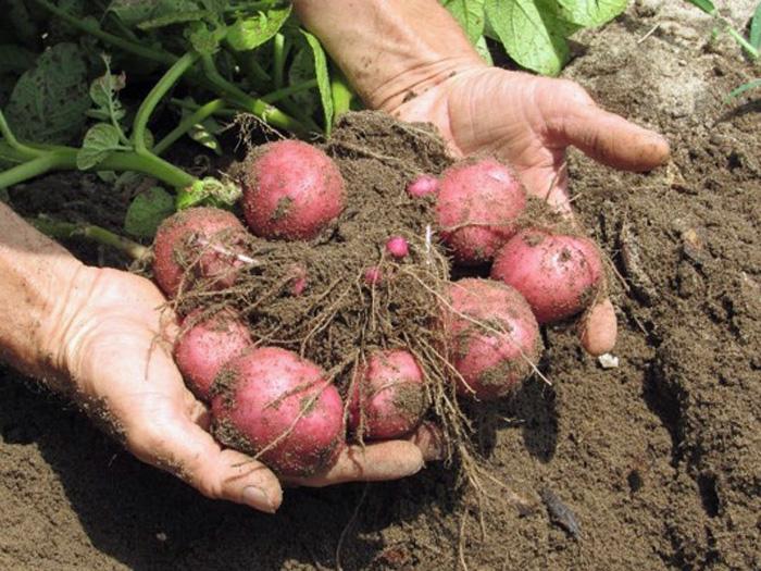 L'Andre potatoes