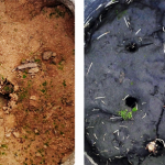 Figure 1. Healthy roots grow more abundantly in soil treated with biochar. The photo on the left shows soil where a soybean plant was recently harvested. The photo on the right shows the roots (white filaments) of a recently harvested soybean plant growing in the biochar treated soil. Photo Credit: Ramon Leon