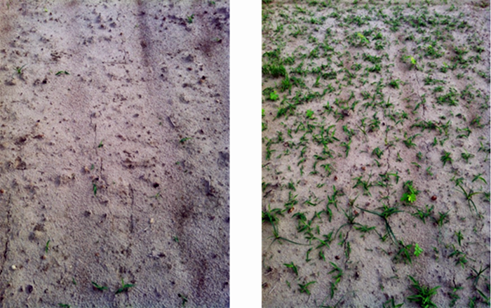 Figure 2. The left panel shows excellent weed control with pendimethalin applied at twice the label rate on a soil without biochar. The right panel shows zero weed control after applying the same herbicide treatment on a soil in which 2 Ton biochar/A were incorporated. Photo Credit: Neeta Soni