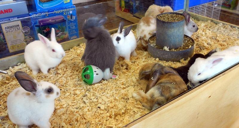 Pet store bunnies