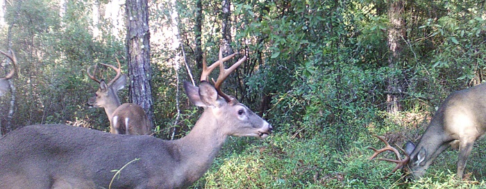 As summer browse dwindles the hbitat benefits of wildlife food plots become more evident. Photo Credit Mark Mauldin