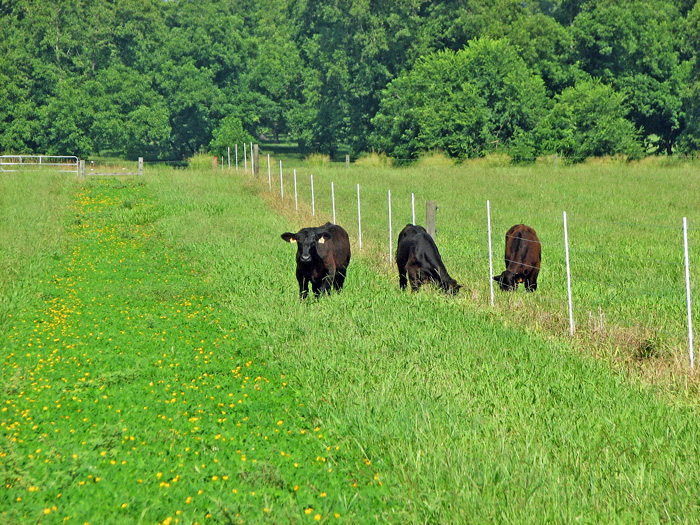 Friday Feature: Integrating Forage Legumes into Pastures to Reduce Fertilization Expense
