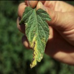 Conditions are Favorable for Bacterial Spot in Fall Tomatoes