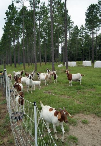 Robert Jackson Goats