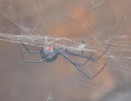 Though normally shy, a cornered or accidently injured black widow spider can inflict a damaging bite.