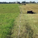 Stockpiled Grazing Can Reduce Winter Feeding Costs