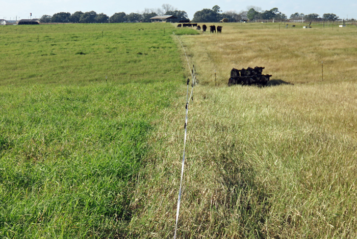 Researchers at Auburn Univerity have conducted research trials feeding cow-calf pairs and stocker calves on stockpiled Tifton 85 bermudagrass at the Wiregrass Research and Education Center in Headland, Alabama.