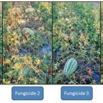 Cucurbit Disease Management in an El Niño Year