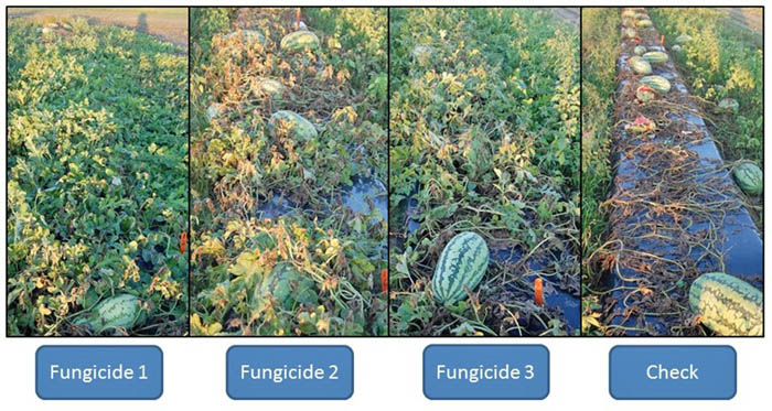 Fig. 2: An example of disease presence in 3 different fungicide programs using products for gummy stem blight management. Applications were made on a regular schedule in all plots. Check treatments did not have any fungicide products applied to them.