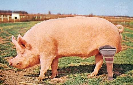 wooden legged pig