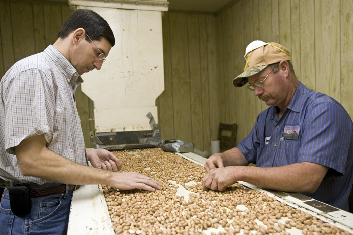 Professor Barry Tillman (left) helping to examine peanut quality at the NFREC in Marianna, Florida. Peanuts, agronomy, factory, food production. UF/IFAS Photo: Tyler Jones.