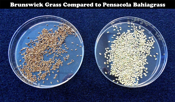 Figure 3. Seed of Brunswick grass (left) and Pensacola bahiagrass (right).