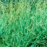 Brunswick Grass: a Weed Contaminant in Bahiagrass Seed Production Fields