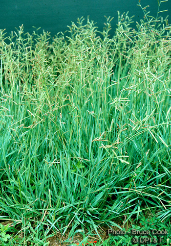 Brunswick Grass A Weed Contaminant In Bahiagrass Seed