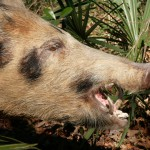 Feral swine can cause $2 million per year in lost cattle production in Florida, according to a new study led by Samantha Wisely, UF/IFAS associate professor of wildlife ecology and conservation.  Photo credit:  UF/IFAS archive