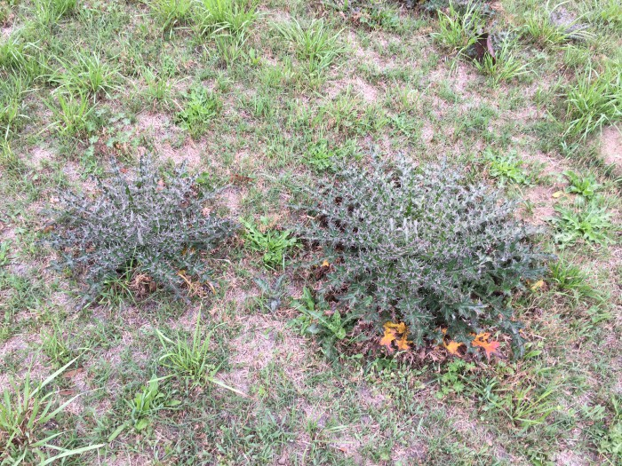 Thistle in Gadsden County hayfield. Photo courtesy of Shep Eubanks UF/IFAS