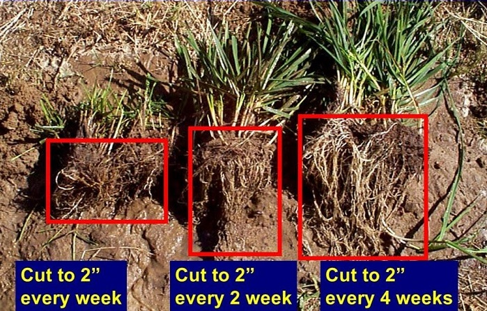 Continuous removal of leaf tissue will have a detrimental effect on the root system of pasture grass. Photo credit: http://onpasture.com/2013/04/30/collect-more-sunshine-to-grow-more-grass/