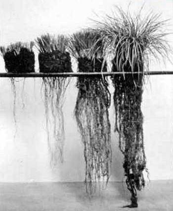 """A photo from a Canadian research station showing the root growth of bunchgrass plants that were kept clipped at certain levels."" Photo and caption from: http://managingwholes.com/new-topsoil.htm"