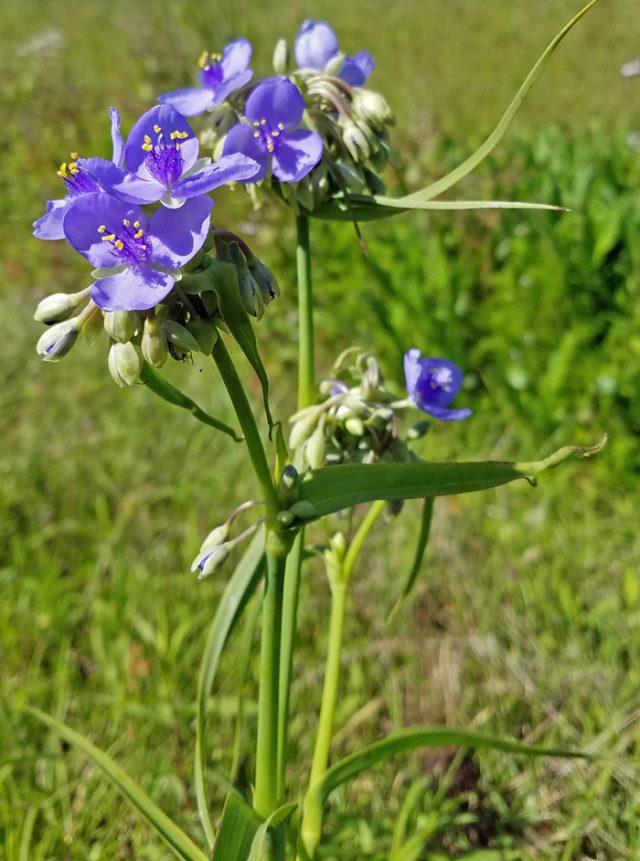 Weed of the Week: Spiderwort