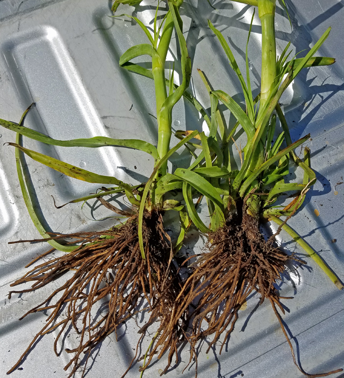 Figure 2. Control of spiderwort is made difficult because of its large root crown that provides reserves for regrowth after canopy burn-down. Photo credit: Jay Ferrell