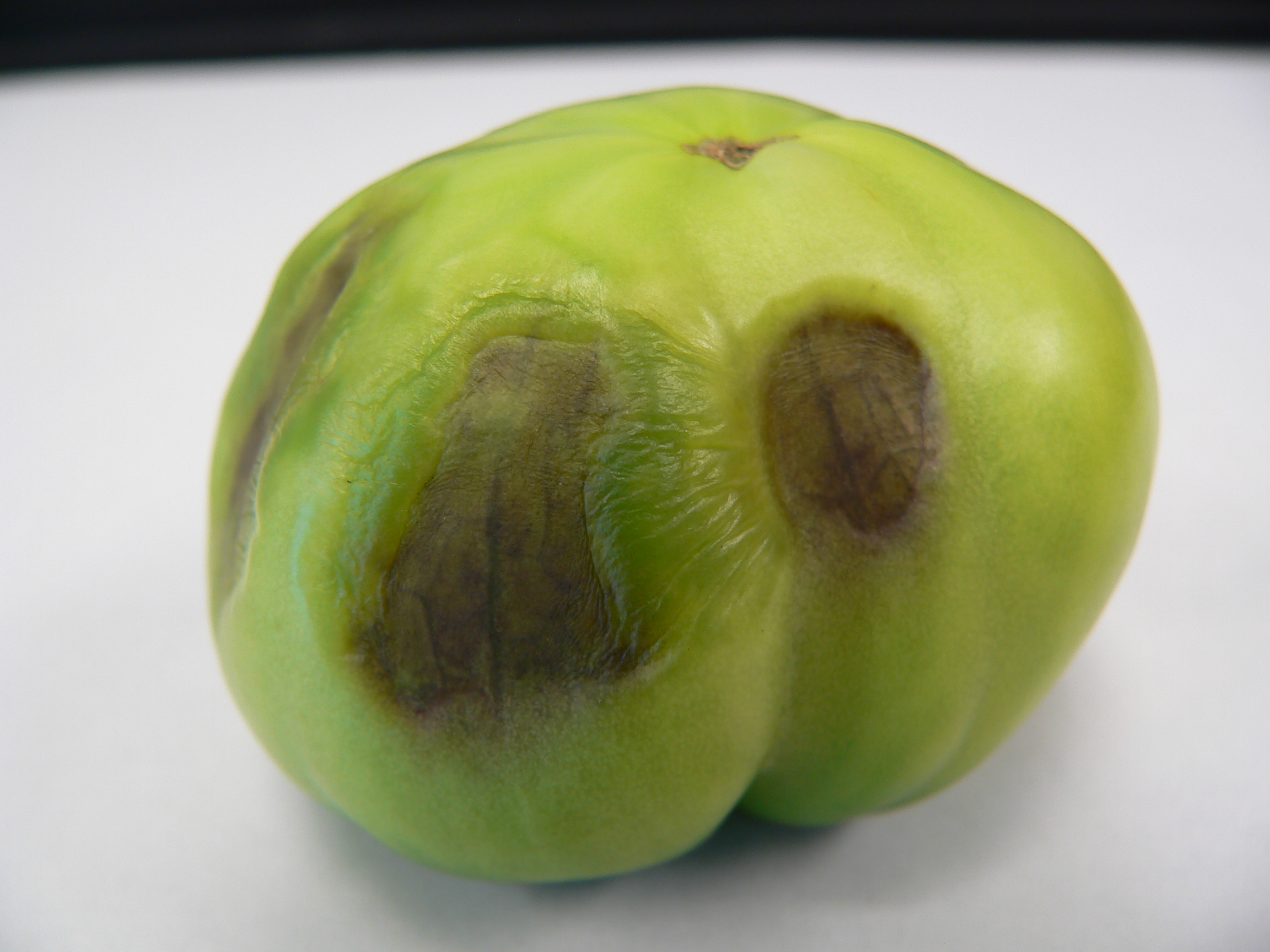 BER occurs when cell walls in fruit collapse, most commonly on the blossom end, but can occur on the side of the fruit as well.