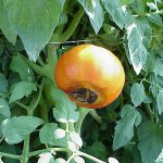 BER can show up in many crops but we most commonly see it in tomatoes.