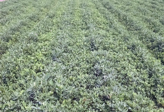 peanut thesis articles+row spacing Row spacing) in the case of sefinesh significantly increases the number of pods per plant and it was supported by [11] who found that a reduction in the plant.