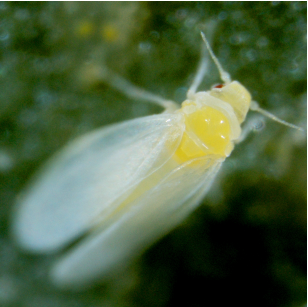 Whitefly close up