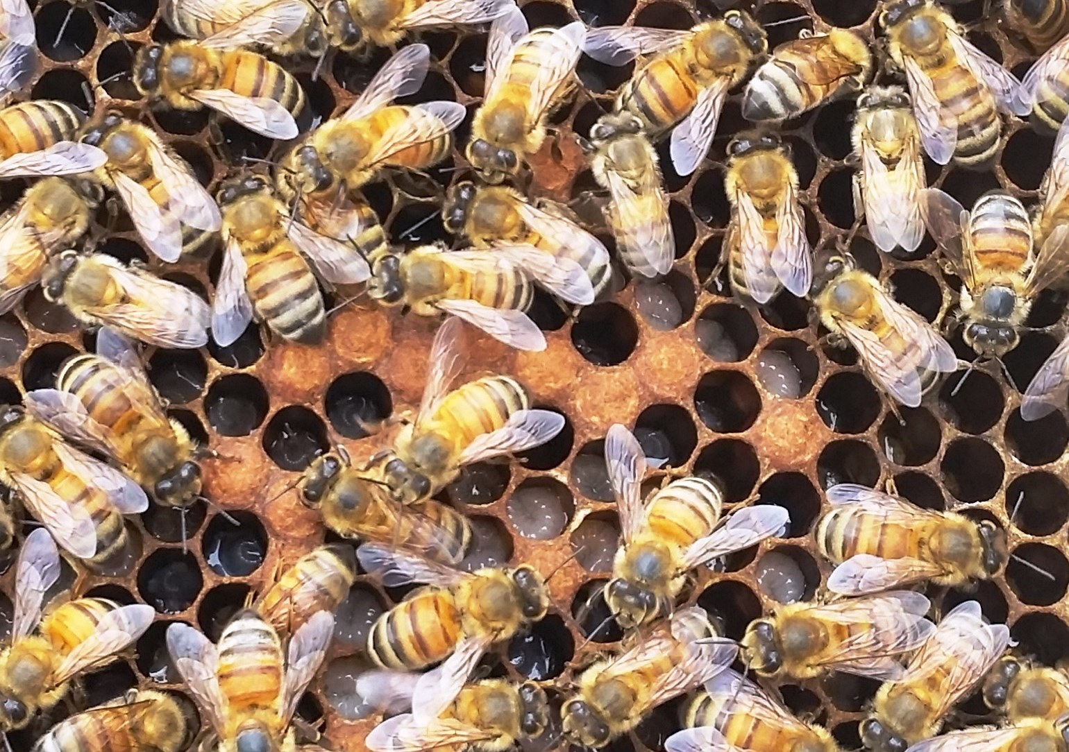 Bees and Brood. Photo by Judy Biss
