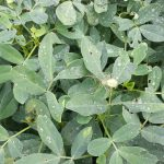 What TS Colin's Rainfall will Mean for Peanut Diseases?