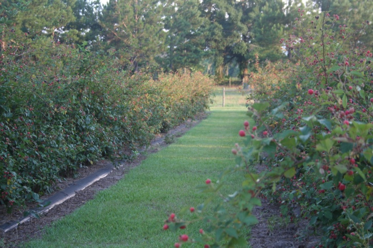 Rows of blackberries maturing at Rooney's Front Porch Farm, a U-pick farm in Live Oak, FL