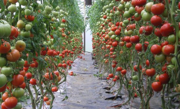 Tomatoes growing in a Cate Farms greenhouse