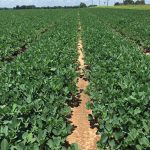 WFREC Row Crop Field Day – August 22