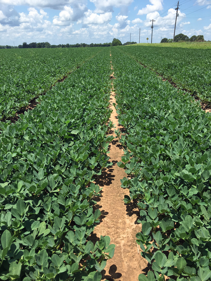 Most of the peanuts are close to lapping in Santa Rosa County. Photo Credit John Atkins