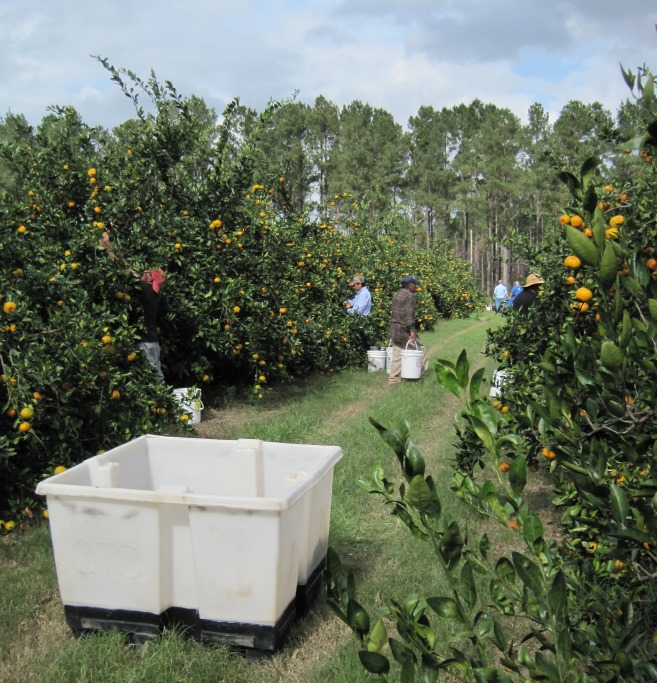 Satsumas Return to North Florida