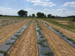 Plastic mulch-bed systems utilize the linear bed foot method. (PC:Blake Thaxton)