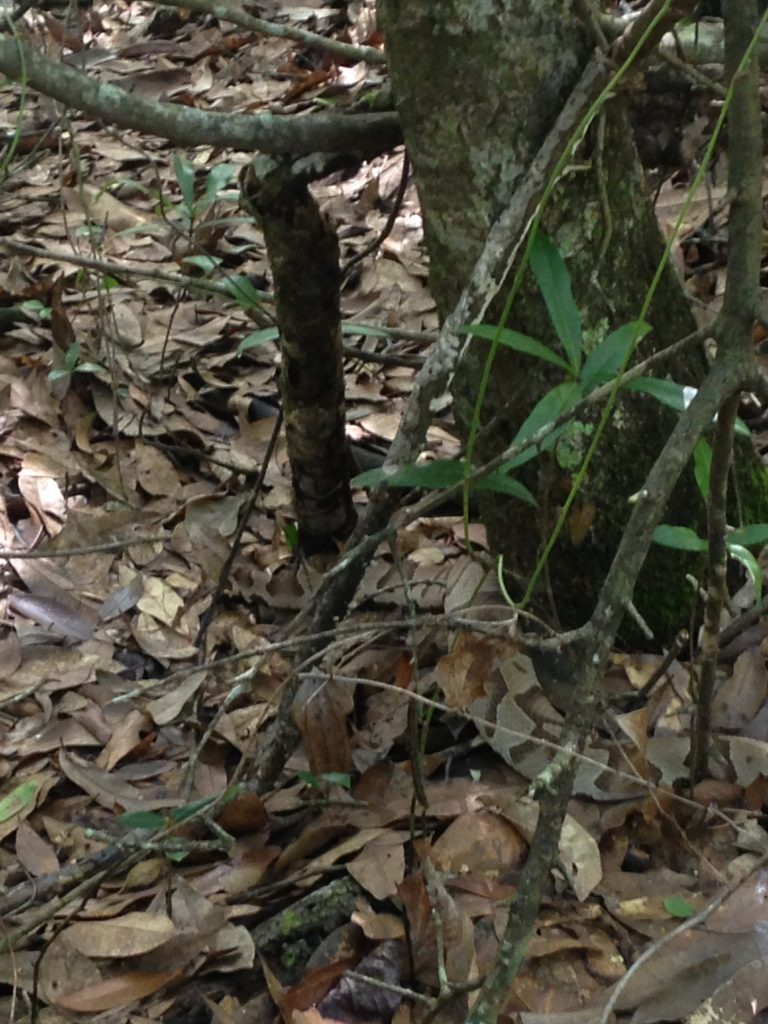 Photo 2. Copper head lying next to a tree in leaf litter demonstrating effective camouflage. Photo by Shep Eubanks – UF/IFAS