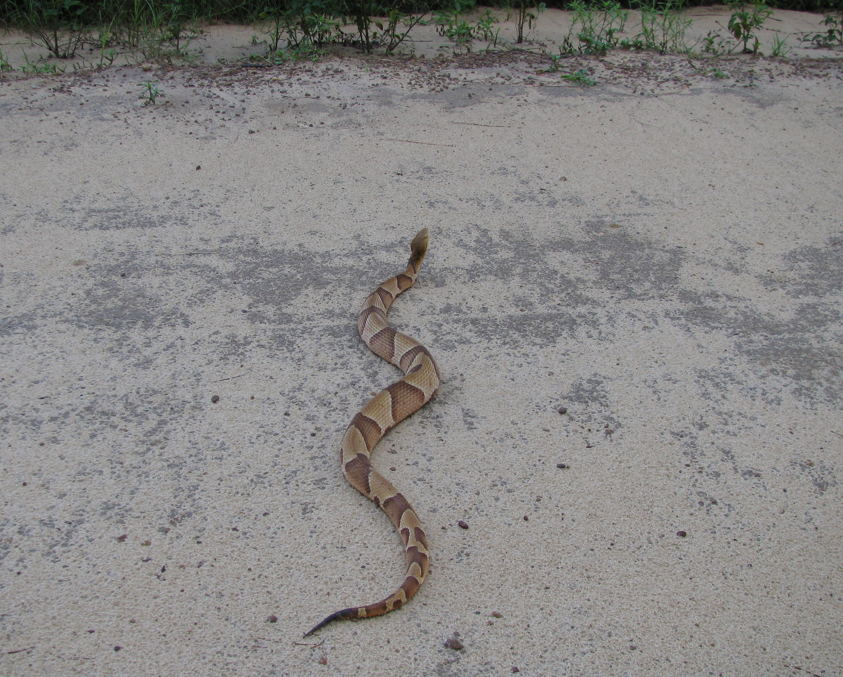 Photo 1. Large Southern Copperhead in Gadsden County – Photo by Shep Eubanks UF/IFAS