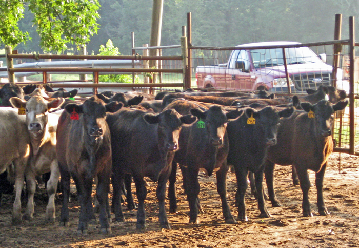 weaned calves at Bar L Ranch, Marianna.