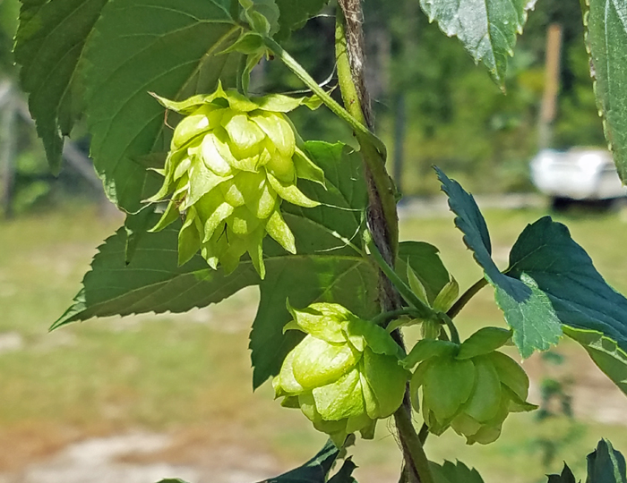 Growing Hops in the Panhandle