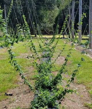 E. Anderson Hops Vines