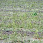 Post-Harvest Tips for Palmer Pigweed Control