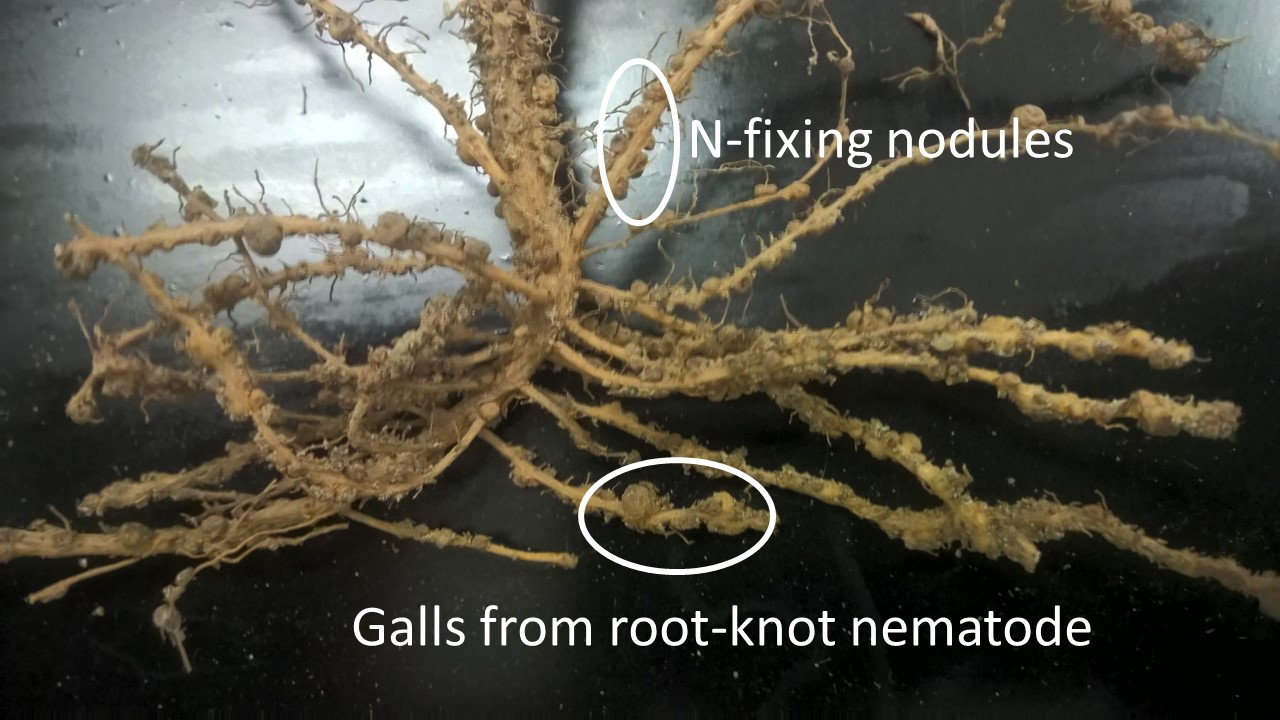 Peanut roots with galls caused by root-knot nematode. Galls are difficult to distinguish on peanut roots because N-fixing nodules cover the roots. Galls are thickenings of the roots while nodules are round attachments to the side of the roots.