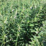 SesameFARM – A New Irrigation Scheduling Model for Sesame Production