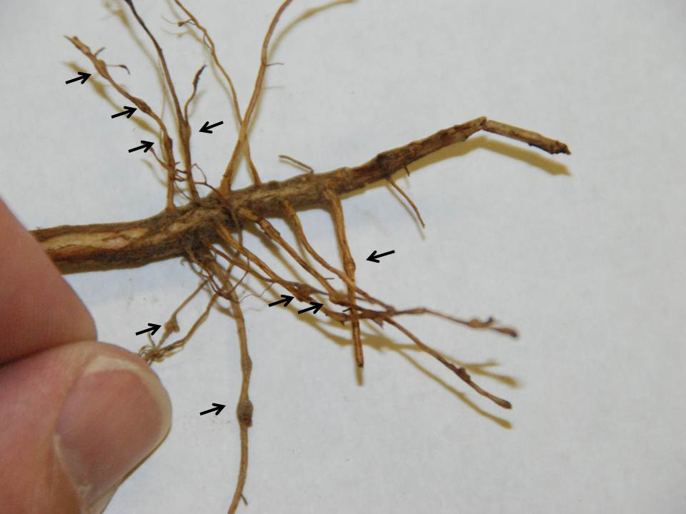 Cotton roots with galls caused by root-knot nematodes marked by arrows. Photo by Tom Allen