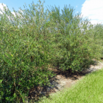 Preliminary Results from the North Florida Olive Variety Trial