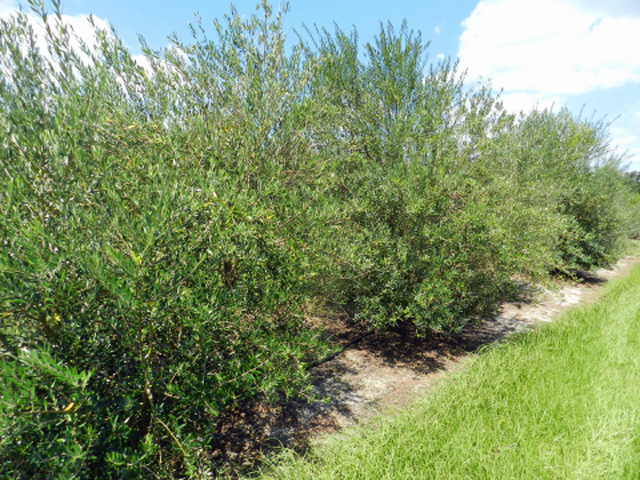 Olive variety trial at UF/IFAS NFREC-Quincy. Photo credit: Pete Anderson