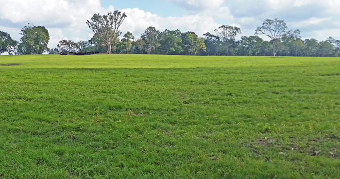 Having Bahia grass ready to graze in 2017 depends on what you do in 2016.