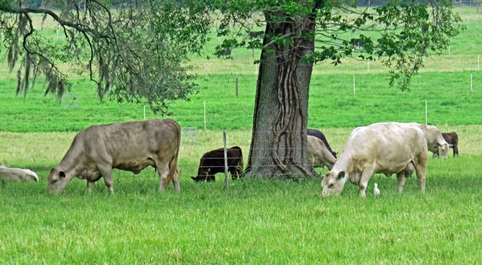 grazing-cows-at-nfrec-beef-unit