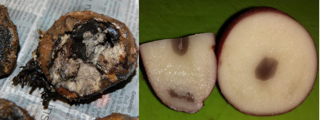 Figure 5: An example of bacterial soft rot in a potato tuber on the left and the physiological disorder internal heat necrosis on the right with some bruising also present on the edge.